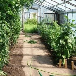 Схема посадки в теплице овощей
