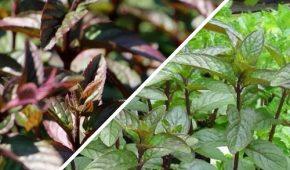 Миниатюра к статье Выращивание шоколадной мяты из семян на участке и в контейнере