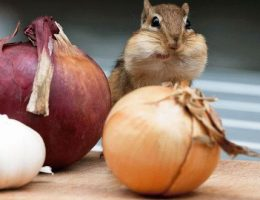 Сладкий репчатый лук – сорта, выращивание из семян