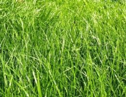 разновидности трав для газона фото