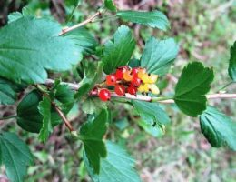 Смородина альпийская – фото, описание, выращивание