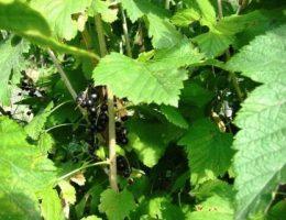 Уход за черной смородиной осенью: обрезка, подкормка, полив
