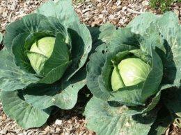 Какие сорта капусты для квашения лучше выбрать