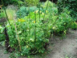 Сорта томатов для открытого грунта – как выбирать правильно