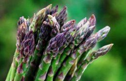 Как вырастить спаржу: посадка семенами, уход, сбор побегов