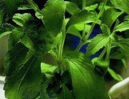 steviya-uslada Услада