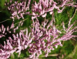 Тамарикс: посадка, уход, размножение кустарника