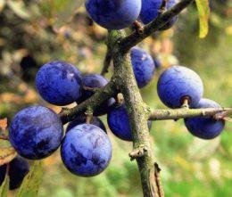 Терн (тернослива) – сорта, выращивание, особенности