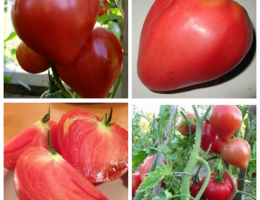 tomat budenovka