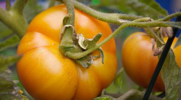 tomat medovii spas