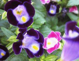Торения – фото цветов, выращивание из семян