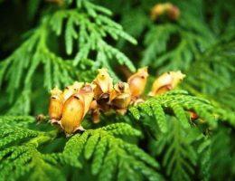 туя из семян фото