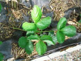 Уход за клубникой после сбора урожая, обрезка листьев, подкормки