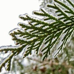 укрывать ли тую на зиму