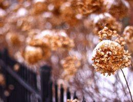 ukritie gortenzii na zimu