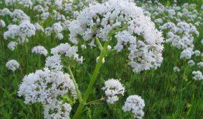 Миниатюра к статье Валериана лекарственная на вашем участке, выращивание из семян
