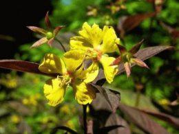 цветок вербейник фото
