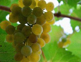 vinograd dlya srednei polosi