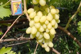 Сорт винограда Ландыш – описание, особенности выращивания
