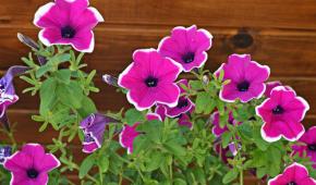 Миниатюра к статье Как вырастить петунию из семян — советы из личного опыта