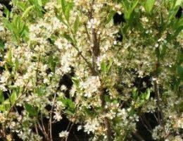 Вишня песчаная (Бессея): мини-вишня для быстрого урожая