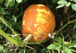 выращивание тыквы фото