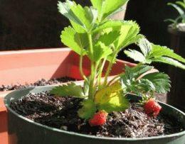 Ремонтантная земляника из семян – посадка и выращивание