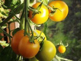 Желтые помидоры – описание некоторых интересных сортов