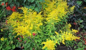 Миниатюра к статье Золотарник: яркий фонтан в ландшафте сада, посадка и уход